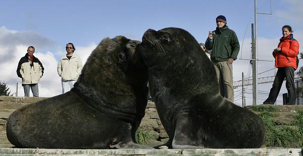 Chile Sea Lions