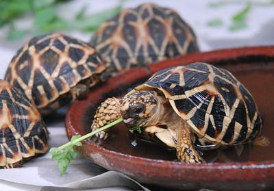 India Tortoise Return