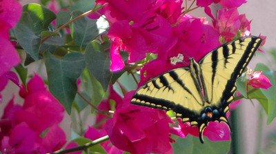 A Butterfly takes a break on a Bougainvillea plant in Chatsworth, Ca July 07, 2007. (Roxanne Kotzman/Los Angeles Daily News)