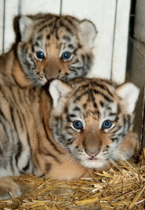 CORRECTION Amur Tiger Cubs