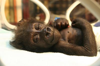 GERMANY GORILLA BABY