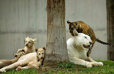 APTOPIX Mexico White Tigers