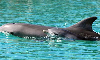 Australia Dolphin