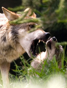 APTOPIX Mexico Wolves
