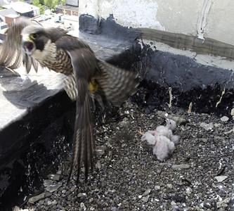 Pa Falcons