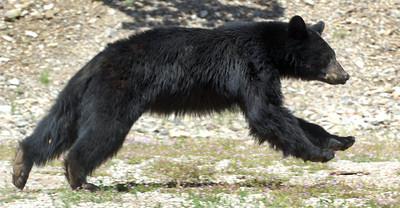 Odd Wandering Bear