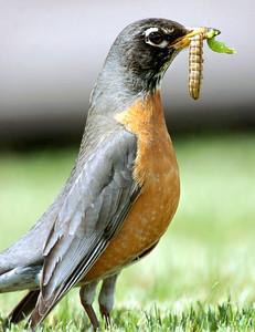 Robin Snack