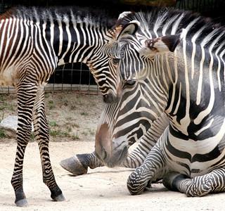 APTOPIX Baby Zebra