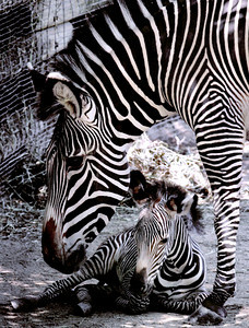 CORRECTION Baby Zebra