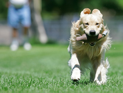 "Dickens— a 2 1/2-year-old Golden Retriever fetches a wooden duck training for a ""WC"" working certificate on a large grass field at Lancaster City Park on Monday, July 30, 2007 with his owner Ed Okurowski of Palmdale who watches him from a distance. (John Lazar/L.A. Daily News Staff Photographer)"