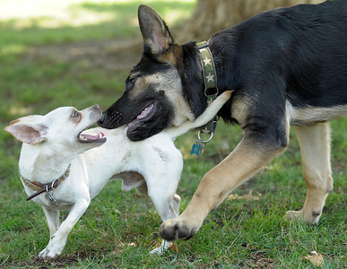 Nigel (left), a Chihuahua rescued by Dogs Without Borders, plays with Duncan, a 4-month-old German Shepard, in the shade of a tree at the Sepulveda Basin Off-Leash Dog Park. Residents of the Valley try to cool off on Wednesday, Aug. 24, 2011 at the Sepulveda Basin Recreation Area in Encino, Calif. Highs reached the 90's on Wednesday.  (Maya Sugarman/Staff Photographer)