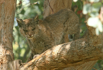 BIG CAT--A bobcat scowls at residents of Friendly Valley thursday afternoon.  The bobcat, which appeared to be injured fled before Fish and Game arrived on the scene.   Photo by David Crane/Staff Photographer.