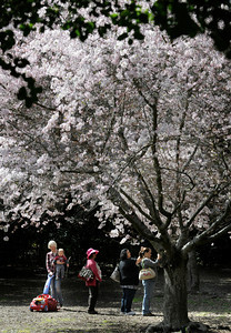 The Cherry Blossom Festival is scheduled March 19-20 at Descanso Gardens, 1418 Descanso Drive, La Cañada Flintridge. Descanso unveils a new Japanese-themed festival tied to the blooming of its beautiful cherry trees. Witness a traditional Japanese tea ceremony Saturday at 11 a.m., 12:30 and 2 p.m. There will be a Japanese cooking demonstration at 11 a.m. Sunday. Take a guided tour of the Gardens' seven flowering cherry trees at 11 a.m. and 1 p.m. both days. Cherry trees will be available for purchase. The Camellia Lounge will sell a signature cocktail created especially for the festival, as well as bento box lunches on both days. Free with admission: $8 adults, $6 senior/students and $3 children 5-12. La Canada Flintridge, CA. 3-18-2011. (John McCoy/staff photographer)