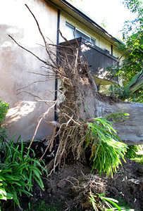 A 50 foot Eucalyptus tree fell at about 1030 p.m. Monday night during high winds in the 6900 block of Bassett Street in Canoga Park.  Miriam Linares's Honda was crushed from the weight of the tree.   (Dean Musgrove/Staff Photographer)