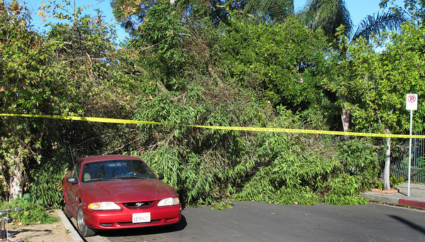 A 50 foot Eucalyptus tree fell at about 1030 p.m. Monday night during high winds in the 6900 block of Bassett Street in Canoga Park.  Miriam Linares's Honda was crushed from the weight of the tree.   This Mustang recieved minor damage.  (Dean Musgrove/Staff Photographer)