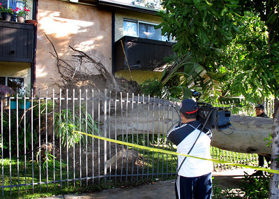 A 50 foot Eucalyptus tree fell at about 1030 p.m. Monday night during high winds in the 6900 block of Bassett Street in Canoga Park.  Miriam Linares's Honda was crushed from the weight of the tree.   KTLA cameraman Darren Phan recordes the damage for a morning broadcast.(Dean Musgrove/Staff Photographer)