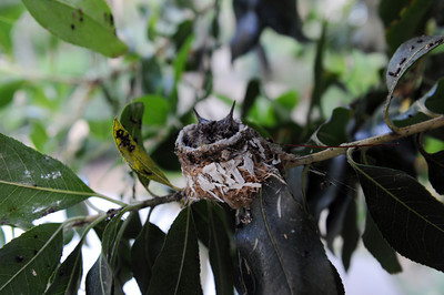 Baby hummingbirds in Paul Weinberger's yard. Weinberger  transformed the hillside of his Woodland Hills backyard into a Mediterranean garden with California native plants. (Hans Gutknecht/Staff Photographer)