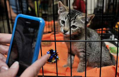"""A kitten poses for a photo. People got upclose and personal looks at cats in the Burbank Animal Shelter during the Cats Days of Summer, hosted by Found Animals Foundation. The one-day Adopta-thon that took place simultaneously at 16 LA animal shelters. Reduced adoption fees on all kittens, cats, puppies, dogs and other pets during """"kitten season. Burbank,, CA 6-17-2011. (John McCoy/Staff Photographer)"""