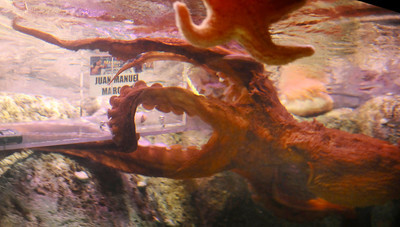 A 40 pound Pacific giant octopus at the Mandalay Bay shark reef  aquarium was given the choice to choose the winner of this weekends fight between Juan Diaz and Juan Marquez in Las Vegas. The octopus went right for box with Juan Marquez''s name on it and ate the mussel bate inside with in 4 mintues. Las Vegas NV. July 29,2010 Photo by Gene Blevins/LA DailyNews
