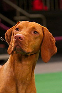 Marlo is a Vizsla from North Hollywood.  Photo by Gary Miereanu