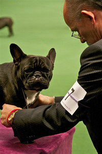 Willie, a French bulldog owned by Santa Monica residents Alexandra Vorbeck and Perry Payson, competes in the 2012 Westminster Kennel Club dog show. (Photo by Gary Miereanu)