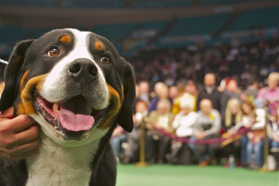 Luke, a greater Swiss mountain dog, is owned by Joanne Schottinger and Pamela Cosner. Schottinger resides in Westlake Village. (Photo by Gary Miereanu)
