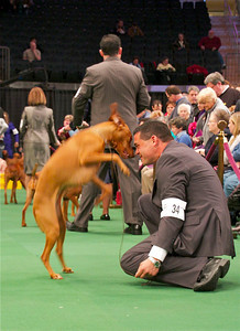 Who said competing in events isn't fun? Here Marlo, a Vizsla from North Hollywood, enjoys a romp at the Westminster Dog Show. Photo by Gary Miereanu
