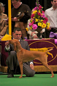 Marlo, a Vizsla from North Hollywood, gets checked out by judges.  Photo by Gary Miereanu