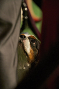 Hogan, a Cavalier King Charles Spaniel owned by Marji McCormick, competes in the 2012 Westminster Kennel Club dog show. McCormich works at Universal Pictures and lives in Simi Valley. (Photo by Gary Miereanu)