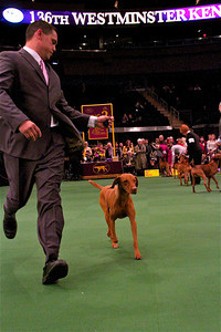 Marlo, a Vizsla from North Hollywood, goes through the paces at the Westminster Dog Show. Cathy Cline is the owner, along with Preston Lane, Marcia Folley and Stephen Cabral, who is also the handler (pictured). Marlo competed in the 2011 Westminster Kennel Club Dog Show, then had a litter of six pups in September. Photo by Gary Miereanu