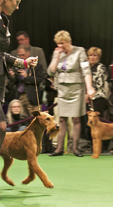 McCallen, an Irish Terrier owned by Linda Honey of San Pedro, earned an Award of Merit in the Westminster Kennel Club Dog Show on Tuesday, Feb. 14, 2012 during the preliminary rounds of the competition at Madison Square Garden. (Photo by Gary Miereanu)