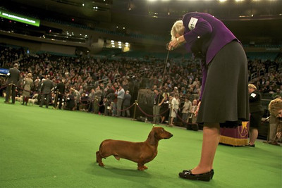 Somebody (yes, that's the dog's name), a soft-haired Dachshund owned and handled by Denise Waldo of Torrance, competes in the 2012 Westminster Kennel Club Dog show.