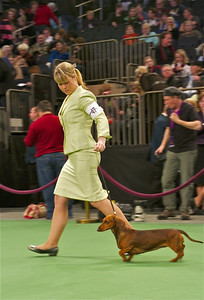 Charlie, a 1-year-old soft-haired Dachshund, owned by Richard Van Elgort of Woodland Hills, competes in the 2012 Westminster Kennel Club dog show. She is handled here by Emalia Williams, who currently attends UC San Diego. (Photo by Gary Miereanu)