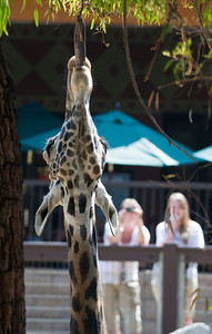 Visitors photograph giraffes at the Los Angeles Zoo in Los Angeles on Friday, June 17, 2011. The city-owned Los Angeles Zoo is strapped for cash, and talks have begun about whether the attraction should be privately funded.  (Maya Sugarman/Staff Photographer)