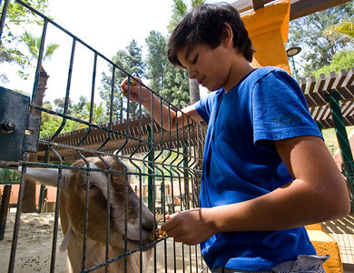 Nicolas Valez, 12, of Valencia feeds a dairy goat in the children's area. Visitors spend their afternoon at the Los Angeles Zoo in Los Angeles on Friday, June 17, 2011. The city-owned Los Angeles Zoo is strapped for cash, and talks have begun about whether the attraction should be privately funded.  (Maya Sugarman/Staff Photographer)