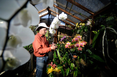 Alfred Hockenmaier of North Hills is donating a few of his prized orchids for a fundraiser for the Orchid Society of Southern California. He was photographed May 25, 2011. (John McCoy/Staff Photographer)