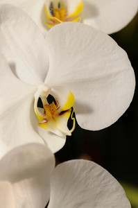 This phalaenopsis, also known as a moth orchid, is one of Alfred Hockenmaier prized plantings in North Hills. (John McCoy/Staff Photographer)