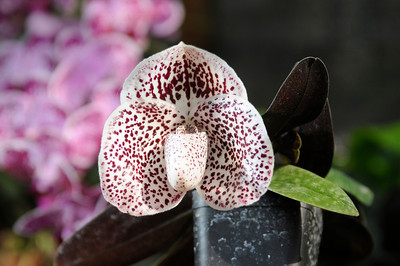 """This orchid is paphiopedilum lucky bells, one of a variety of """"lady slippers."""" It's part of North Hills resident Alfred Hockenmaier's collection. (John McCoy/Staff Photographer)"""