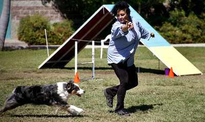 Dog owner Marilyn Bennett from Sherman Oaks, commands her 9-year-old Australian Shephard Shilo, to run to the next obstacle during the agility competition of the Paws in the Park event held at Balboa Park in Encino, CA. September 15, 2007.  (Ernesto Elizarraraz, Special to the Daily News)