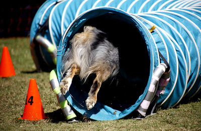 9-year-old Australian Shephard Shilo, leaps into the tunnel during the agility competition in the Paws in the Park event held at Balboa Park in Encino, CA. September 15, 2007. Marilyn Bennett from Sherman Oaks is the owner of Shilo.  (Ernesto Elizarraraz, Special to the Daily News)