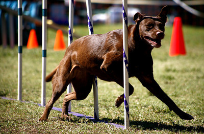 7-year-old Tarn, runs through one of the obstacles in the agility competition during th Paws in the Park event held at Balboa Park in Encino, CA. September 15, 2007.  According to her owner Michelle Watson from Mojave, CA. Tarn has been competing for four years and has several lead titles. (Ernesto Elizarraraz, Special to the Daily News)