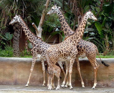 5/2/06- Raha, a four-day-old giraffe blends in with his parents and a friend at the Los Angeles Zoo. Raha is a Swahili word meaning happy. (Tina Burch/LA Daily News Staff Photographer)