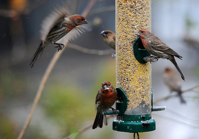BIrds take advantage of a feeder at the Los Angeles Zoo. Los Angeles CA 1/21/2012(John McCoy/Staff Photographer)