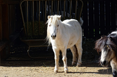 Miniature horses at Rancho Deluxe Movie Ranch in Santa Clarita (Hans Gutknecht/Staff Photographer)