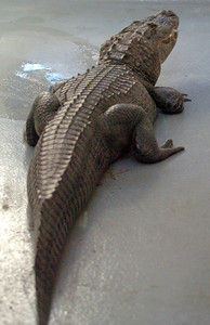 Reggie the alligator checks out his new home at the Los Angeles Zoo, after he was captured at Machado Lake in Harbor City. He was put in quarantine at the zoo.( Staff photo by Sean Hiller)