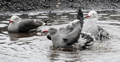 Seagull enjoy a bath in fresh rain water along PCH in Malibu CA.  Dec 20,2010.  photo by Gene Blevins/LA Daily News