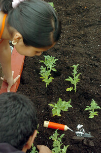 At Shirley Avenue Elementary School, 5th grade students learn how to plant tomato plants in their new garden sponsored by Team Depot Beautification, on Thursday, May 31, 2007 while they are creating a literacy garden.  (Tina Burch/Staff Photographer)