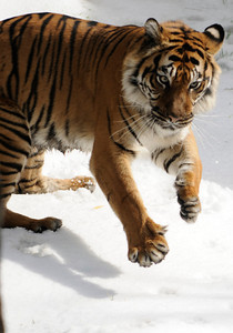 A Sumatran tiger frolics in the snow. The Los Angeles Zoo will transform the Asian elephant, American black bear, Sumatran tiger and snow leopard habitats into snowy winter wonderlands on Saturday and Sunday, February 5 and 6, 2011. Visitors will enjoy the rare experience of seeing these amazing animals play in the snow. Los Angeles, CA. 2-5-2011. (John McCoy/staff photographer)