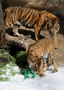 Sumatran tigers enjoy the snow, and frozen treats. The Los Angeles Zoo will transform the Asian elephant, American black bear, Sumatran tiger and snow leopard habitats into snowy winter wonderlands on Saturday and Sunday, February 5 and 6, 2011. Visitors will enjoy the rare experience of seeing these amazing animals play in the snow. Los Angeles, CA. 2-5-2011. (John McCoy/staff photographer)