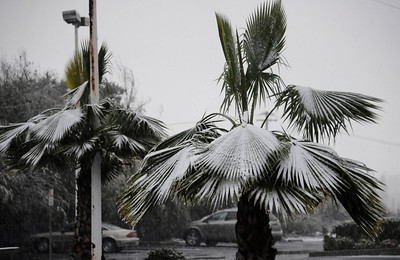Palm trees covered in snow as it fell from the Newhall pass to Santa Clarita and the Grapevine as residents were treated to an early 2011 snowfall Sunday afternoon after a light rain turned to flurries and then to a heavy snowfall. Santa Clarita CA.  Jan 2,2011 Photo by Gene Blevins/LA DailyNews